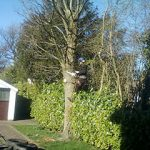 Tree-Surgeons-Stockport-Manchester-Felling1
