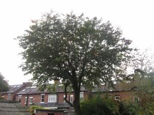 Tree-surgeon-Stockport-0799