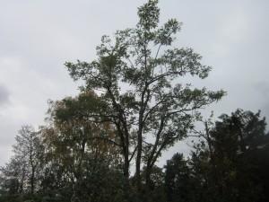 Tree-surgeon-Stockport-0806
